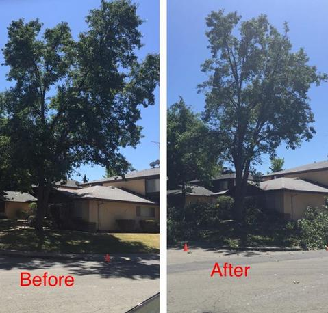 Paul The Tree Climber | Arborist, Tree Service, Tree Removal, Tree Trimming | Placer County | trees