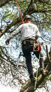 Paul The Tree Climber | Arborist, Tree Service, Tree Removal, Tree Trimming | Sacramento County | tree climber